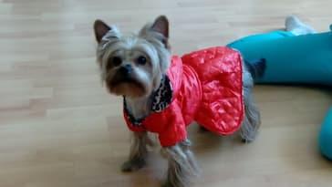 manteau réversible pour yorkshire