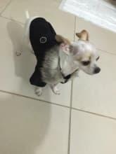 chihuahua habillé en manteau noir avec col fourrure