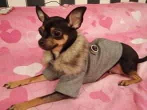 pinscher habillé en manteau gris d'hiver