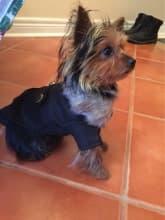 manteau col fourrure pour chien