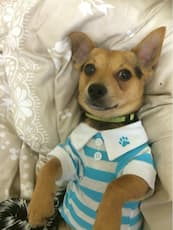 polo à rayures bleues pour chien
