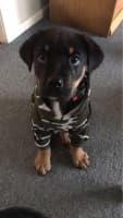 sweat camouflage pour chien