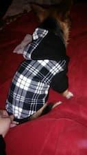 pull à capuche pour chien petite taille