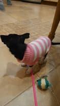 chien habillé avec pull rayé