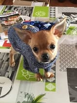 chihuahua vêtu d'un pull bien chaud