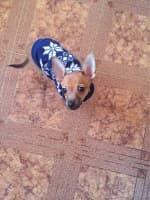 pull motif flocons pour chien