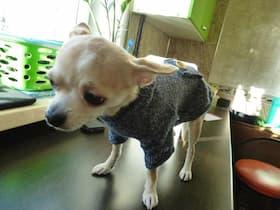 chihuahua habillé avec pull d'hiver en laine