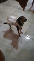 robe mariée pour chienne