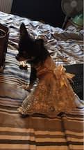 femelle chihuahua porte robe brodée de mariage