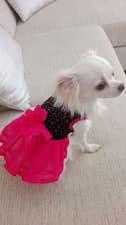 robe élégante pour chihuahua