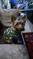 yorkshire avec pull imprimé camouflage vert