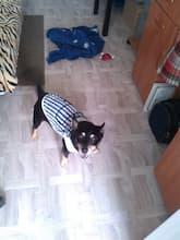maillot été décoration ours pour chien