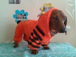 déguisement de tigre pour chien