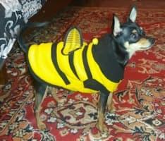 déguisement abeille rigolo pour chien