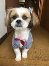 veste de soirée pour chien