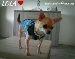 chihuahua habillé en veste de jean