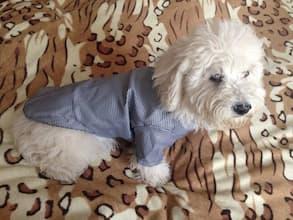 veste habillée pour petit chien