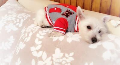 tenue pour chien sportif