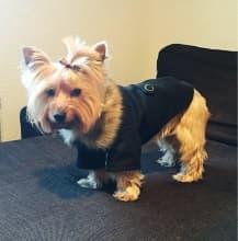 yorkshire habille en manteau