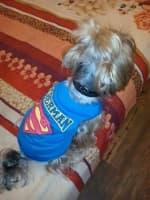 maillot superman pour petit chien
