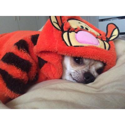 chihuahua déguisé en tigrou