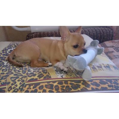 Chihuahua joue avec peluche
