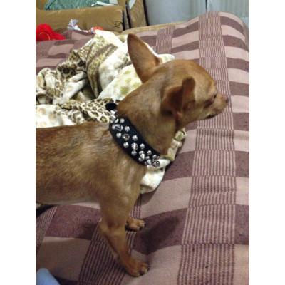 chien avec collier clouté
