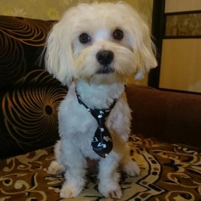 Cravate style musique pour chien