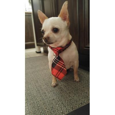 Cravate pour chihuahua