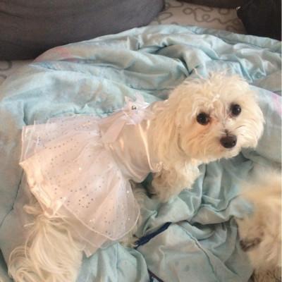 caniche en robe de soirée