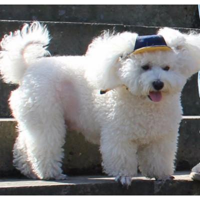 chien porte casquette