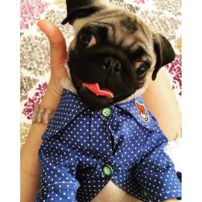 chien porte chemise