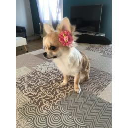 chihuahua avec barrette dentelle rose