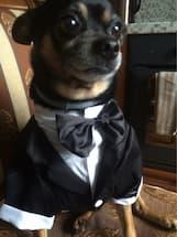 costume smoking complet noir pour chien tenue de soir e v t 39 chien. Black Bedroom Furniture Sets. Home Design Ideas